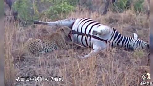 花豹意外捡到斑马尸体,正吃得津津有味时,斑马尸体爆炸了