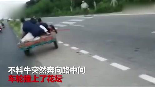 牛拉车载人一路狂奔,不料撞上花坛一车人被甩飞,吓得牛跑路了