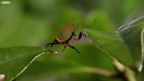 世界上最神奇的螳螂,很多人没见过