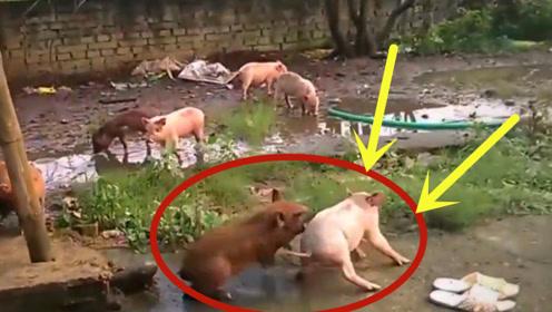 家猪和野猪一起养,不料竟发生意外,本命年的动物就是厉害!