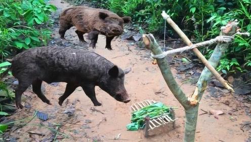 9岁男孩自制超牛陷阱,几根树枝就搞定,野猪自动送上门!
