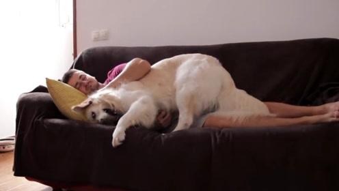 当金毛想让你遛它,而你却只想睡觉时,金毛:我不管,你给我起来