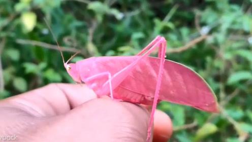 女子在花园发现罕见的粉色蚱蜢,颜值超高,但却极易被捕食!