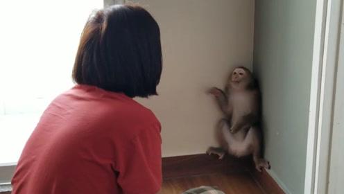 猴子一不小心闯祸,被主人严厉教训,猴子还顶起嘴来了!