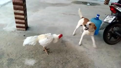 这是我见过最怂的一只狗,被一只公鸡追着跑