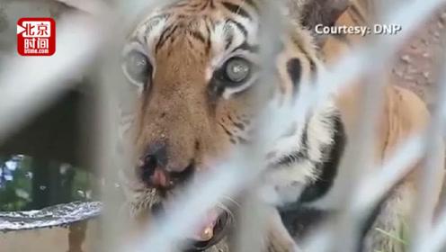 濒危物种再遭重创!泰国86只老虎因近亲结婚死亡?专家:可避免