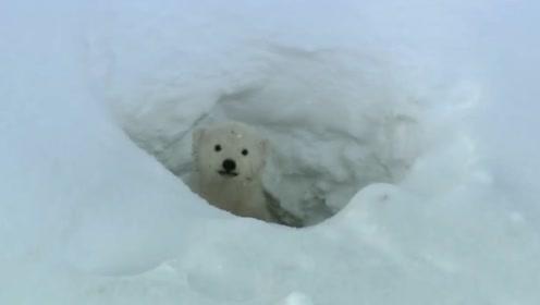 北极熊宝宝第一次看到外面的世界,还真是个熊孩子