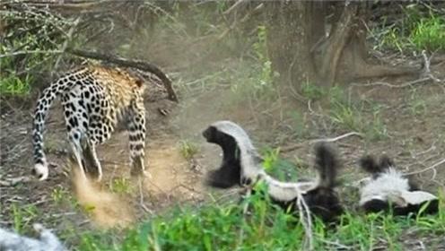 豹子刚抓到只蜜獾,没想却被另一只蜜獾吓跑,镜头记下全过程!