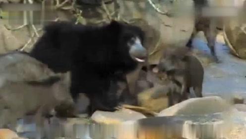 熊和野猪打群架?为了争夺仅有的食物,野猪完全不惧怕熊