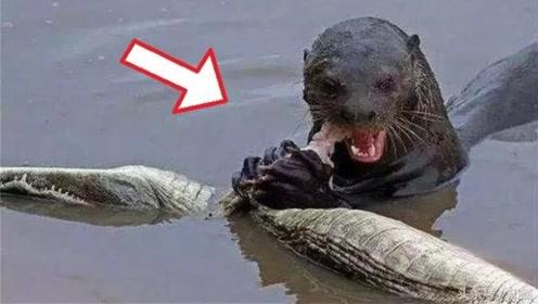 别看个头瘦小,水中霸主鳄鱼都畏惧它,看完被震撼