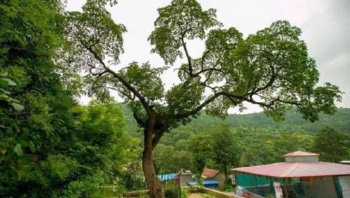 中国最稀有的一棵树,全世界仅存一株,价格比黃金贵几十倍
