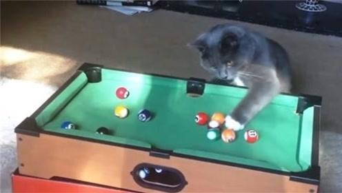 """一只会打台球的猫咪,""""技术""""碾压主人,网友惊呼:成精了!"""