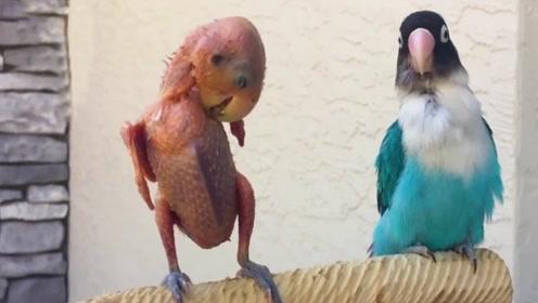 """羽毛被拔光的鹦鹉,站杆子上与主人""""叫嚣"""",手机拍下搞笑一幕"""