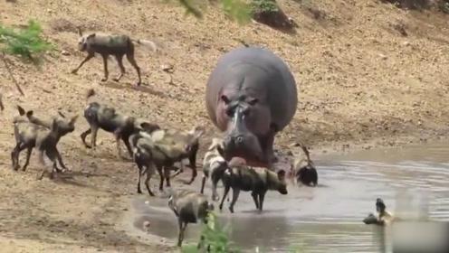 别看河马是食草动物,咬起起羚羊可绝不嘴软,野狗都不如它
