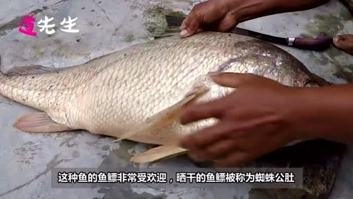 抓到一条这种大鱼,一年可以不用干活了,鱼肉没啥价值