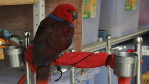 南非一只鹦鹉忘了自己是只鸟,会狗叫还会看家护院