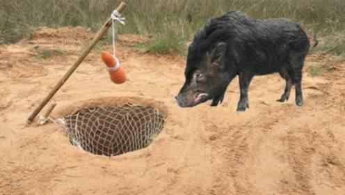 野外抓猪很简单,一个胡萝卜一个坑就搞定,小伙高兴坏了