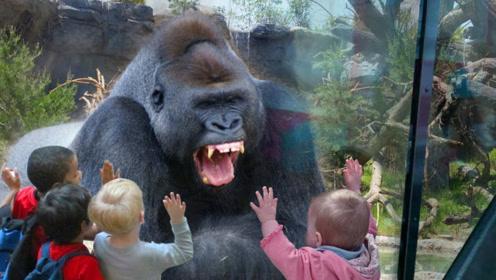 游客作死挑衅大猩猩,惹它一拳撞碎钢化玻璃,结局太崩溃了!