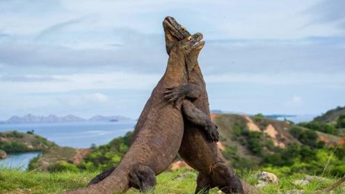 科莫多巨蜥的皮有多厚,专家解剖它时废了九把手术刀