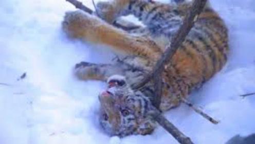 救援队野外遇到小老虎,用树枝将它制服,看着让人心疼