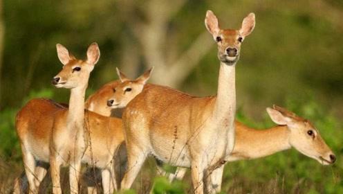为什么鹿那么多,却没有像牛羊猪肉一样,经常出现在人们餐桌上?