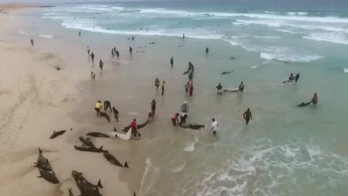 134只海豚搁浅海滩 民众积极抢救将它们拖回大海