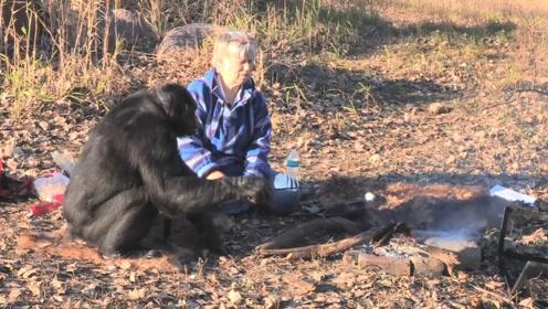 大猩猩坚持做饭20年,会生火会掂锅,手法相当熟练!
