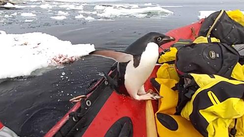 企鹅一下子蹦到考察船上,发现船上没小鱼干,又拍拍屁股跳走了