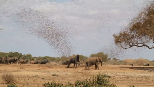空中一大群鸟攻击大象,场面一度失控,这鸟什么来头?