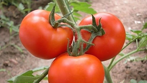 家里有人吃西红柿吗?2西红柿没有营养还全是癌细胞,一定不要吃