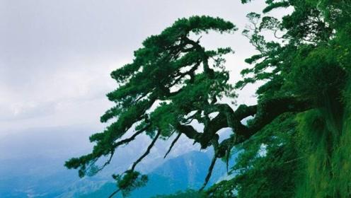 全世界最出名的10棵树,有4棵在中国,网友:我只知道迎客松!