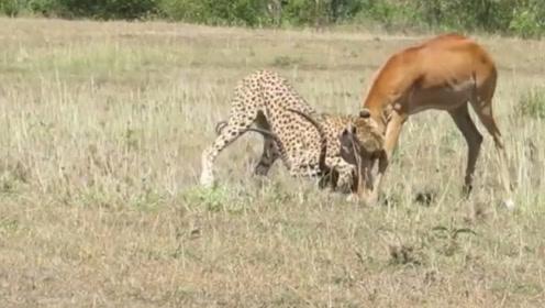 猎豹虽然捕食迅猛,无奈牙齿太短,擒获猎物之后还得经过一番缠斗