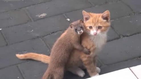 呆萌黄鼠狼,竟一口将猫咪锁喉,下一秒被猫咪揍了!