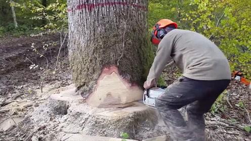 实拍农村伐木工伐树,这操作技术我给满分