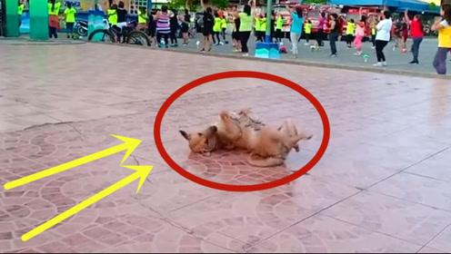 广场舞的洗脑神力,狗子:你再也控制不住我的舞步了