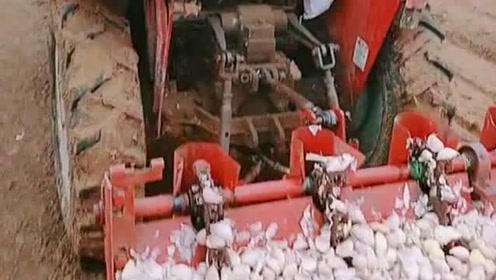 农民伯伯开始种蒜了,把蒜瓣全部放入机器后箱,一粒粒的自动播种!