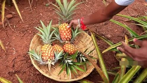 原来菠萝是这样采摘的,太意外了,网友:和我想象的完全不一样
