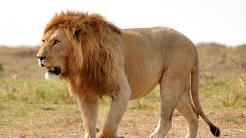 狮子进村捕杀家牛,结果被男子一棒子打走,网友_颜面尽失啊