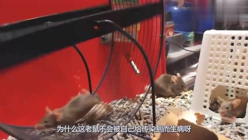 老鼠终日都生活在肮脏的环境中,身上病菌众多,为何却不会生病?