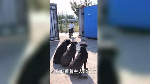 主人出门吩咐狗狗看家,三只狗狗席地而坐,来了小偷狗狗会怎么做