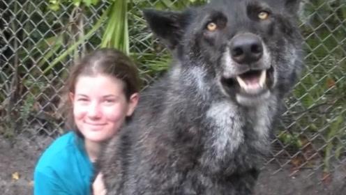 女子救下巨无霸狼犬,11年后越来越不对劲了,网友:这是狗吗?