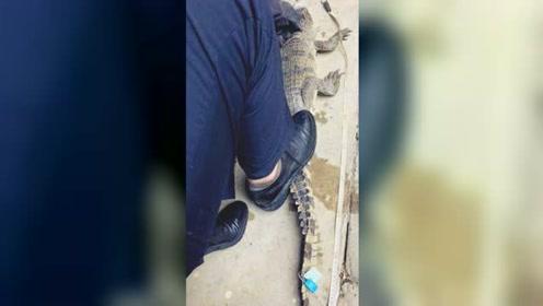 居民家中闯进一米多长暹罗鳄 爬在楼梯上呲牙咧嘴