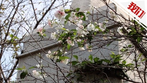 武汉大学樱花反季绽放 网友调侃:被天气搞晕了