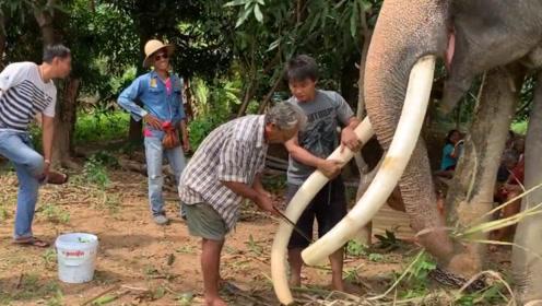 村民们割掉大象的牙齿,看起来很残忍,却是为了它的安全!