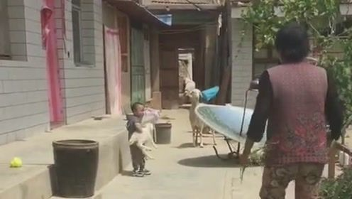 熊孩子抱走羊宝宝,羊妈妈立马追来了,生怕会伤害它的孩子!