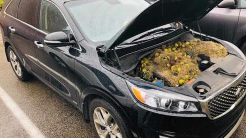 女子闻到焦味以为车坏了,打开引擎盖一看,松鼠藏了200个核桃