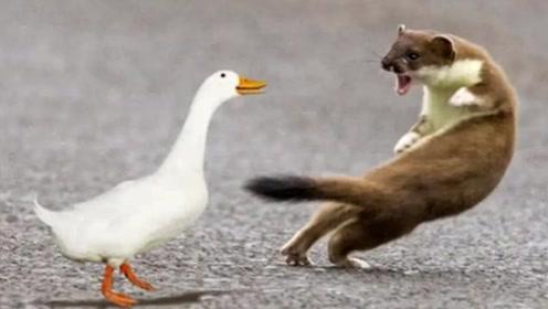 黄鼠狼最恐惧的动物是鹅,鹅到底有啥不一样的功夫?看完后涨知识