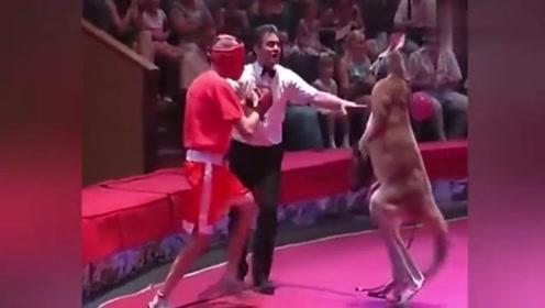 拳击手和袋鼠比赛,本以为能轻松获胜,没想到被打得无法还击