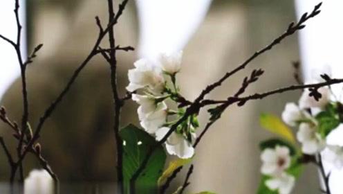 被天气搞晕的武大樱花?10月开花的科学解释来了