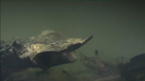 玛塔龟好会伪装,通过弹射把水加带着小鱼挤进真空的口腔内